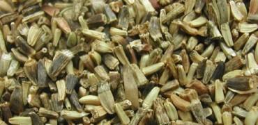Graines germées de chicorée
