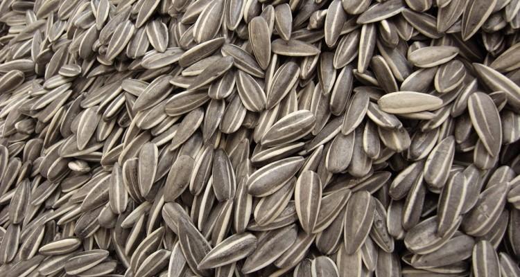Graines germées de tournesol