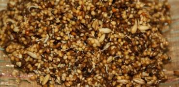 Graines germées de cressonnette