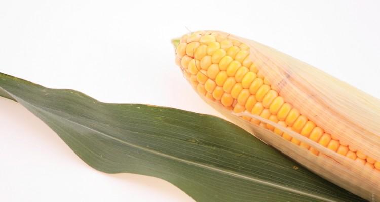 Graines germées de maïs
